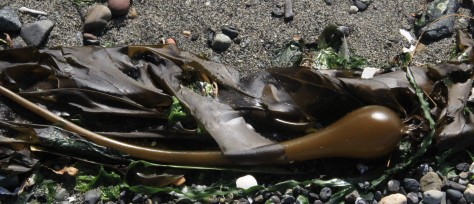 Bull Kelp, or Nereocystis luetkeana