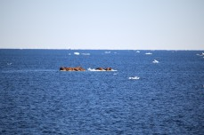 A few of the 6000 walruses seen on the cruise huddled on an ice flow.