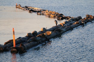 Seals and herons hauled out near IOS.