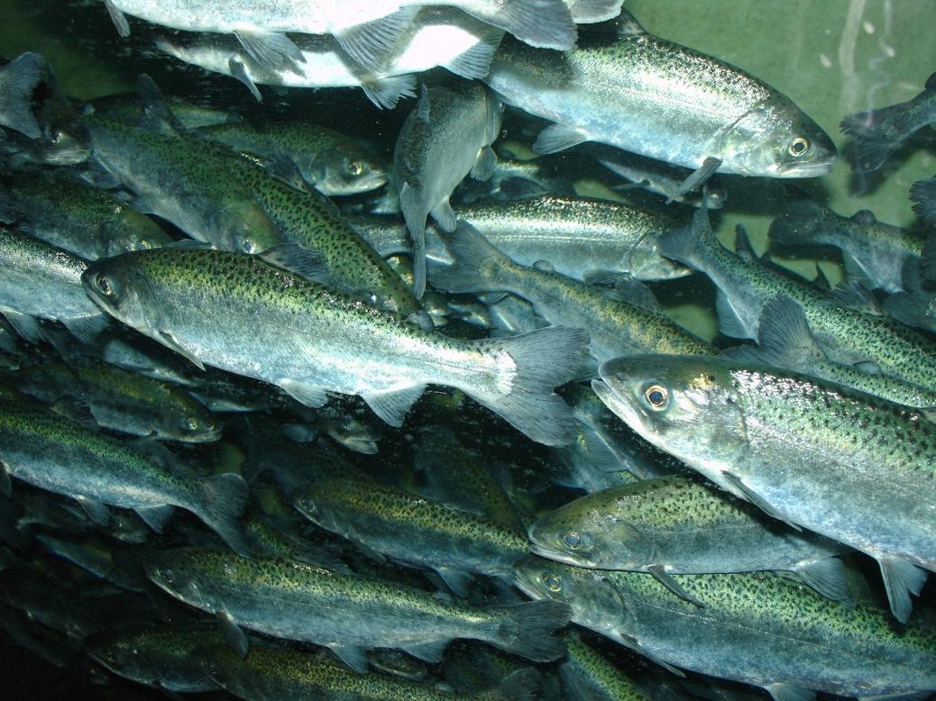 chinook_salmon_oncorhynchus_tshawytscha_wiki